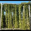svetelny-koren-pestovanie-bedna-15