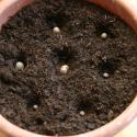 svetelny-koren-pestovanie-kvetinac-01