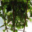 svetelny-koren-pestovanie-kvetinac-03