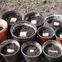 svetelny-koren-pestovanie-kvetinac-09