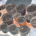 svetelny-koren-pestovanie-kvetinac-10